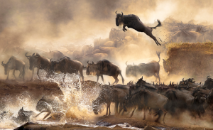 Credit Wildebeest migration, Kenya, by Bonnie Cheung